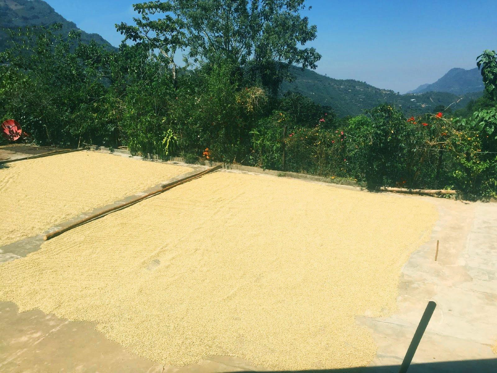 Guatemala_Miralvallee_process_Young_Hustler_Coffee